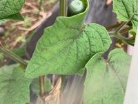 食用ほおずきの葉にアブラムシと思われる虫がついていますがアブラムシであっているのでしょうか?