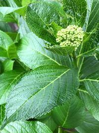 この植物が急に実家の敷地内に生えてきました。 葉や花を見るとアジサイのようですが、実家に植えてあるアジサイの葉と比べると、少し葉がツルツルしているようにも見えます。 この植物は何という名前か、分かる...