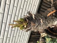 このフェニックスロベレニーは今後元気に葉を生やしてくれますか?  冬に葉が全て茶色く枯れ、枯れた葉っぱは切った状態です。  静岡県です。