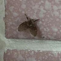羽虫とか呼んでるやつです 体長4ミリくらい  この子は何でしょう?  よろしくお願いします