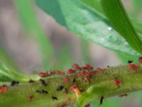 雑草の茎の部分に群がる気持ちの悪い虫は何ですか?