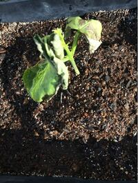 モロッコインゲンをプランターで育てようとして、もう3年になります。 ポットで育苗して、野菜用の土に定植しています。 毎年枯れてしまうのですがなぜですか?  アブラムシ対策は、毎朝アメンコという食品成分の水飴を噴霧しています。  水は土が乾いていたらあげています。  お詳しい方教えてください。 よろしくお願い致します。
