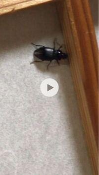 この虫がなんという虫かご存知の方がいたら教えていただきたいです! 全身黒くて大きさは2cmほど、飛びます。