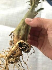 アデニウム・オベスムを昨年夏に購入し、育てています。冬も越えられ、葉も出てきて元気だと思っていましたが、ここ1週間程前より、根元の幹が痩せてきて、押してみると少しブヨブヨしていました。 環境としては...