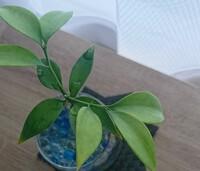 ダイソーで、数年前に観葉植物とかかれているものを買ったのですが、名前が書いてありませんでした。種類を教えてください