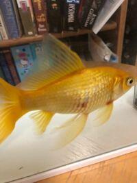 金魚の松かさ病について治療経験のある方、お力を貸して下さい。 飼育3年目の金魚(体長10センチほど)が穴あき病にかかり、同時にウロコが少し浮き上がり、お腹も腫れていました。  3日前から10ℓ水槽に隔離し、...