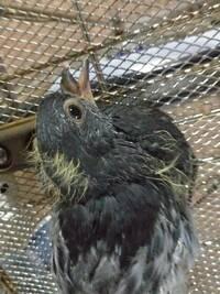 この鳥の雛はカラスの雛でしょうか?
