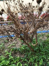 マーガレットです。だいぶ前に花が咲き終わったので、切り戻しをしました。他のマーガレットは、緑の葉をつけているのですが、写真のマーガレットだけは、枯れてしまったようになっています。再び、花を咲かせること ができるか教えてください。