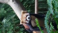 ジャイアントパンダとレッサーパンダの、どちらが好きですか?