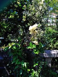 葉っぱに白い色が入っている、白い花を咲かせている植物の名前が知りたいです。 左上はマサキかなと思います。