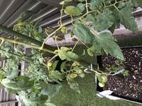 プランターでミニトマトと中玉トマト(フルーツルビー)を育てています。 これまでのところ順調に育って、実もついてきているのですが、先日梅雨入りしたくらいから、中玉トマトの元気がありま せん。  茎に近いところから葉が枯れはじめ、心なしか茎も茶色っぽい気がします。  水分過多だったりしますか? どうやってこの状況を乗り越えたら良いでしょうか。