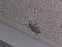 この虫は何でしょう… マンションの廊下を歩いてました。 カブトムシよりスリムで、カミキリムシより触角は短いです。 歩くスピードもカブトムシ程度です。
