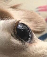 ペットのチワックスの目が変になってる。 ゴミでは無さそうですが何でしょう。