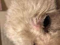トイプードルですが 目の上あたりに、デキモノが かゆがったりはしてないのですが 犬用の軟膏をぬってますが 気になります