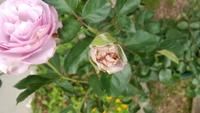 バラの蕾が茶色くなる原因と対策を教えてください。  添付の画像のようにバラの蕾が茶色くなります。 花はちゃんと咲くのですが、 花弁のふちが茶色くなるので見た目が良くないです。 原因と対策を教えてください。 よろしくお願いします。