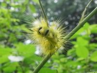 【この毛虫の名前を教えて】  標高300mほどの低山を歩いていて見つけました。一瞬黄色い花かと思いましたが、毛虫でした。美しいので名前がわかればありがたいです。