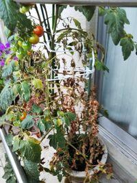 鉢植えのトマトがいきなり、下のほうから枯れ始めました。 8鉢のうち3鉢です。 それまでよく実をつけていたのですが、 この状態の実は食べられますか?