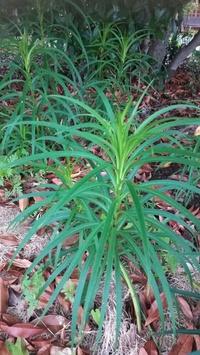 種が飛んできたのか、庭に見慣れない植物がはえてきました。ユリのような変わった葉っぱです。どなたかわかる方いますか?雑草なら抜こうと思います。
