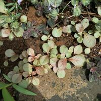 庭の花壇から丸い赤い葉脈の葉っぱがたくさん出てきました。はじめはすごく小さかったので、恐らく種が広範囲に散って育ったのかと思います。 この花壇のみに生えていて、割と広範囲に生えています。 これは一種の雑草なのか、何ていう植物かを知りたいです。 よろしくお願いします。  ちなみに近くにはアジュガ、クリーピングタイム、リシマキアミッドナイトサンが植わっています。
