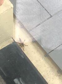 自宅のベランダで蜘蛛のような脚をした 脚6本の黄色と黒の虫がいました( ; ; )  なんという名前の虫なのでしょうか。