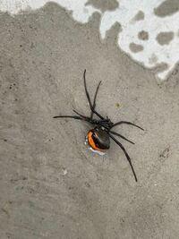 家の庭にセアカゴケグモのようなクモが二度も現れました。その度に熱湯をかけて殺しています。こちらはセアカゴケグモなのでしょうか?模様が縦ではなく横に赤いので
