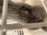 猫の臍ヘルニアについて。 獣医の方、もしくは獣医学に明るい方お願いいたします。  避妊手術の縫合跡が画像のように一部ぽこっとなりました。 先生からは、傷が閉じる際に、脂肪などがそこ に固まったものの...
