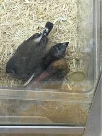 ペットショップで見かけたキンカチョウです これって大丈夫な状態ですか?