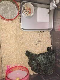 ジャンガリアンハムスター(プディングハムスター生後2ヶ月)を三日前から飼い始めたのですが、自分の住処に小便をして砂場にしてくれません。 やはりケージが大きすぎて砂場をトイレと認識できないのでしょうか?