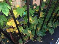 ゴーヤの葉っぱが黄色くなってきてしまいました。身もついてきて背も高くなっています。 「チッソ:リンサン:カリ:マグネシウム=7:7:10:1.5」の肥料は3週間ほど前にあげました。これから本格的に暑くなるので心配...