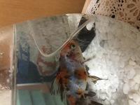 金魚飼育初心者です。今日ペットショップで買ってきました。家について気づいたのですがエラの赤い部分は病気でしょうか?