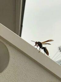 ベランダに蜂が来て、糞に困っています。 ちなみにこちらの蜂です。 危険な蜂ですか? 何か対処法を教えていただきたいです。 洗濯物にもされる為、困っています。