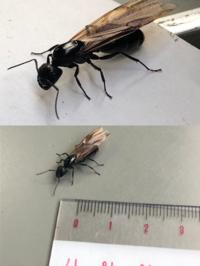 これは女王アリですか? 普通の羽アリですか? 画像の通り約2センチ位あります。