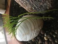 自宅の植木鉢に謎の植物が生えてきました。一体何の植物なのでしょうか? 教えて下さい