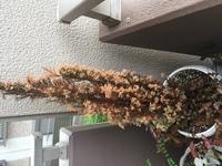 植物の名前と対処方法を教えてください。  1ヶ月ほど前に写真の植物を譲り受けました。 天気が悪いのが続いていたので、水やりを怠ったせいか、枯れ始めています。  どなたかお詳しい方、 植物の名前と対処方法を教えてください。  よろしくお願いします。