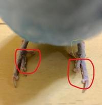 セキセイインコの足のブツブツが気になります。  今朝放鳥時に足のコブのようなものがいくつかあるのが気になりました。(赤い囲み箇所) 唇はきれいで足だけがこんな状態です。 止まり木で嘴や顔を掻いたりしていましたが、換羽のせいかなと思っていました。 画像を拡大してみると足の付け根部分の皮膚に穴が開いた軽石のようなものがついているように感じるのですが。(黄色の囲み箇所) ブツブツは肉球?...
