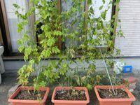プランターにゴーヤーを植えて今までちゃんと育っていたのですがいきなり葉が枯れてきました。 プランターに1株づつ植えてあり土が少し少なく感じたので上に土を足しました。 野菜と花の土です。 土を足した途端に葉がおかしくなりました。 梅雨明けして急に暑くなったのは関係ないですか? 水やりは朝と夕方でたまに栄養にコメのとぎ汁をあたえてました。 肥料も粒のタイプを一度まきました。 ゴーヤー...
