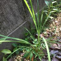 雑草ですが、この線の細い葉のものは何という名前でしょうか?