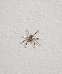 クモ(蜘蛛)画像注意! このクモの種類を教えて下さい。 1cm弱ぐらいです。