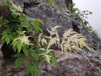 先週末に塩見岳~間ノ岳に行ってきたのですが、わからない花があるので教えてください! よろしくお願いします。