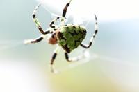 お墓参りに行った際、この蜘蛛を発見しました。 周囲の住民の方は見たことのない種類だということでした。 この蜘蛛の種類がわかる方、いらっしゃいますか? https://i.imgur.com/sECwsRH.jp g