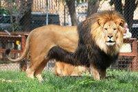 以下の動物が戦ったらどっちが勝つ? 1. ヒョードル 対 ブチハイエナ  2. アラスカヒグマ 対 ホッキョクグマ  3. 土佐闘犬 対 オオカミ  4. ミルコ 対 マンドリル3頭  5. ボブ-サップ 対 ヒョウ  6. 最強格闘家 対 ニホンツキノワグマ  7. 平均的成人男性 対 マンドリル  8. トラ 対 ライオン   以上。戦う動物は格闘家以外...