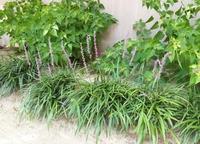 この植物の名前は何でしょうか。薄紫色の花が8月現在あちこちの花壇で咲いています。お花に詳しいかたご教示下さい。