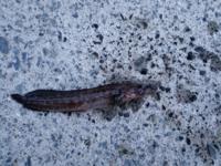 この魚、何ていう魚か教えてください! 岸壁でつれたんですが、ハゼの仲間っぽいのですが………