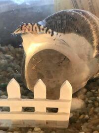 淡水魚に関する質問です この魚の名前教えてください