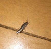 閲覧注意!虫です!!! この虫、なんですか?なにをする虫で何を餌にしたりなにをしたら湧きますか? いまズボンの中から膝に上がっていくのを条件反射で叩いたのですが本当に気持ち悪すぎてむりです