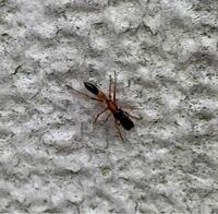 この蟻は何という蟻でしょうか? ムネアカオオアリでしょうか? 少し違うようですがわかる方いらっしゃいますか? 害のある蟻なら駆除の依頼をしたいのですが… (保育園の駐輪場でよく見かけます)