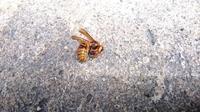 ハチの種類についての質問です。 家の軒下にハチが巣を作っていたため、家族で巣とハチを駆除しました。 写真はその際仕留めたハチの死骸のひとつですが、これはスズメバチでしょうか、それともアシナガバチでしょうか?