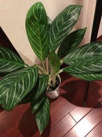 この観葉植物は何という名前か教えてください。 又、耐陰性はありますか?  北向きの暗い玄関でも育つ、 耐陰性のある観葉植物があれば教えて頂きたいです。