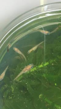メダカについて質問です。 2ヶ月ほど前にメダカの稚魚をいただいて家で育てているのですが1匹だけ様子が違います。 他のメダカは順調に育っているのですが1匹だけ小さく、元気ですがなかなか 育ちません。色も...