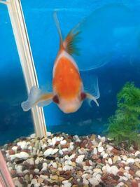 金魚ちゃんの目が赤く血走っています。 赤みがとれても目に白いのがついています。 なにをすれば、 どうしたらよいかわかりません! 近くのペットショップへ行ってもいまいちで 塩水浴をやっても何も変化がありま...